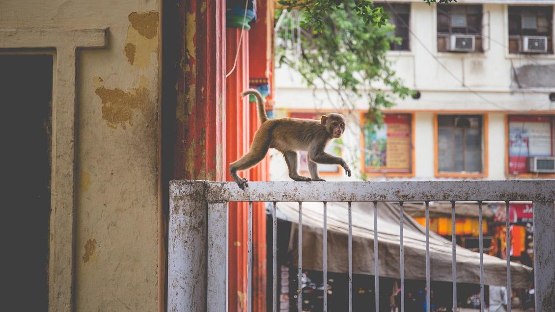 Monos se robaron muestras de coronavirus y huyeron en India